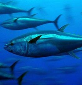 Atlantic Bleufin Tuna