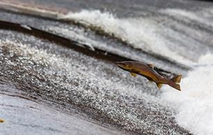 Baltic salmon - A resource for the future