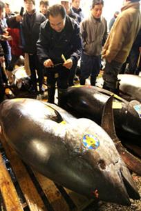 Atlantic bluefin tuna quota increased