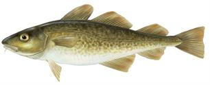 Cod population in the North Sea is in dire state, ICES reports