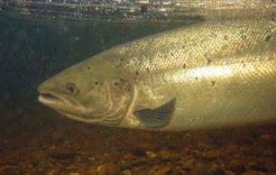 Concerning Baltic Salmon - illegal, misreported and unreported commercial fishing