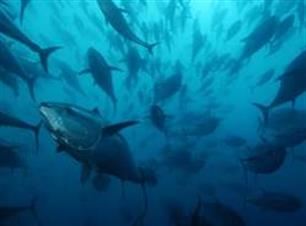 EAA Position on Atlantic Bluefin Tuna management - recreational fisheries (video)