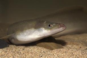 EELS – EAA position paper on EU eel management published