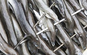 Eels - Dutch anglers furious over false catch claims