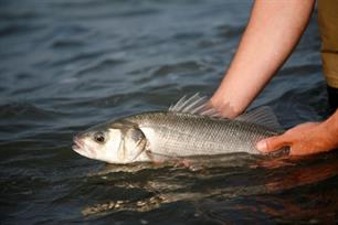 EU Sea Bass Management Plan – EAA position paper
