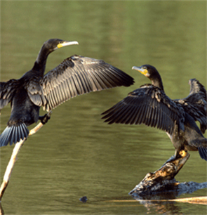 More cooperation is needed to improve cormorant management in Europe
