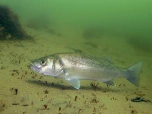 New sea bass study published