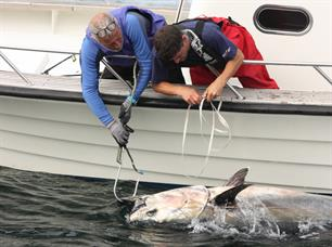 Successful tagging of 18 bluefin tuna in Denmark and Sweden